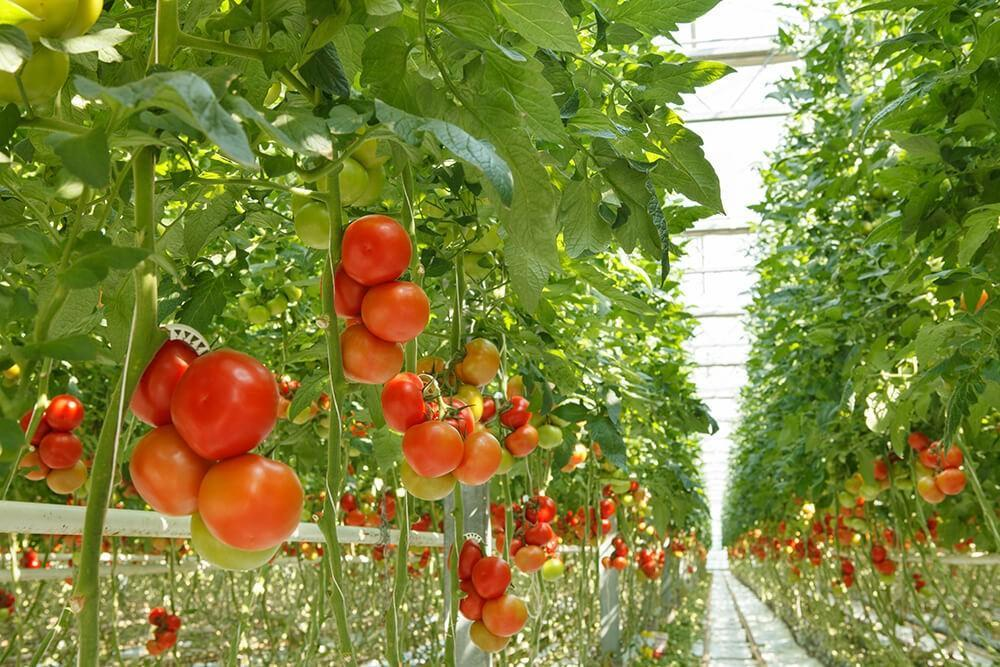 growing tomatoes using hydroponics