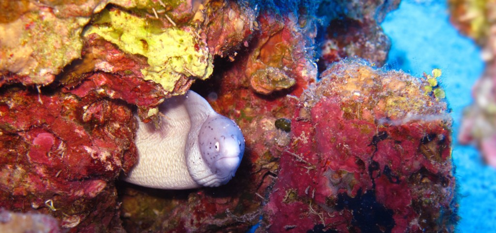 face to face with a tinny white moray eel
