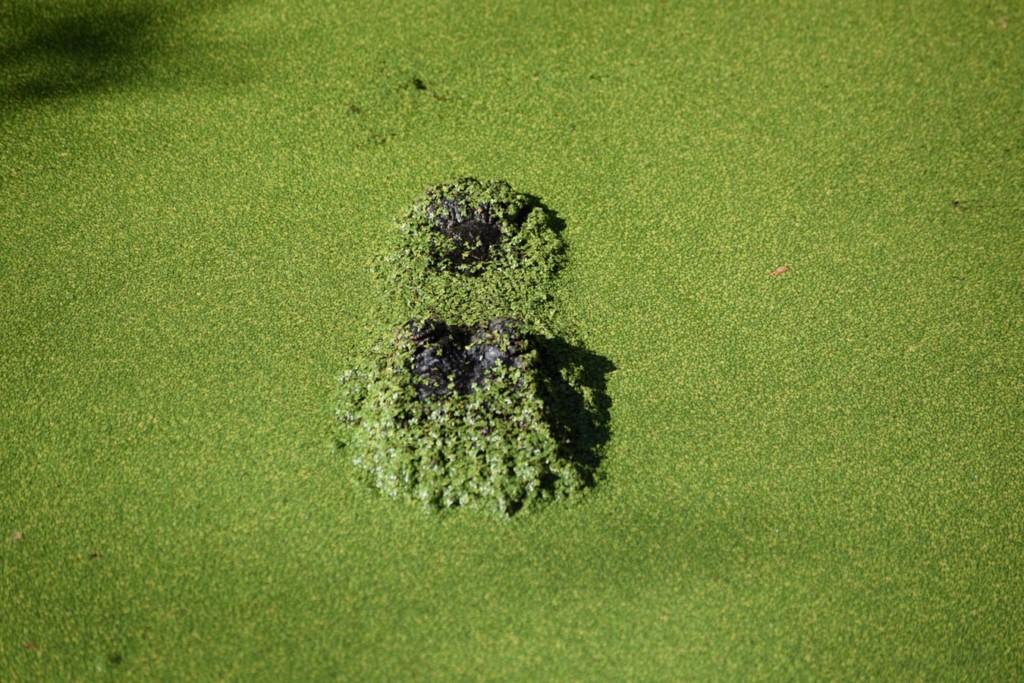 Algae bloom