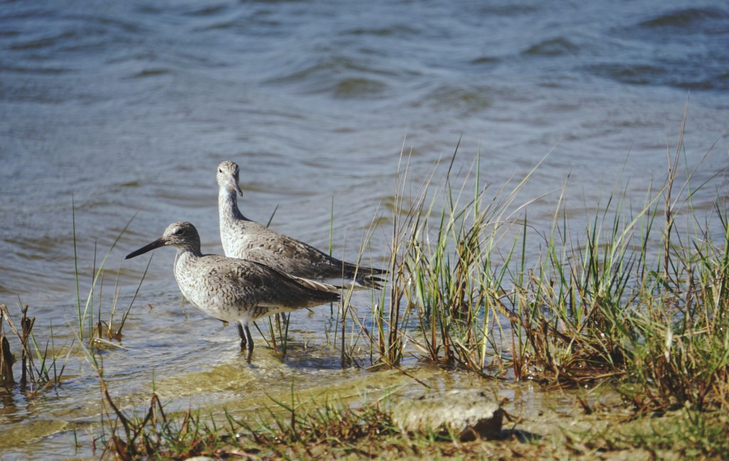 two birds standing on water near grass during daytime