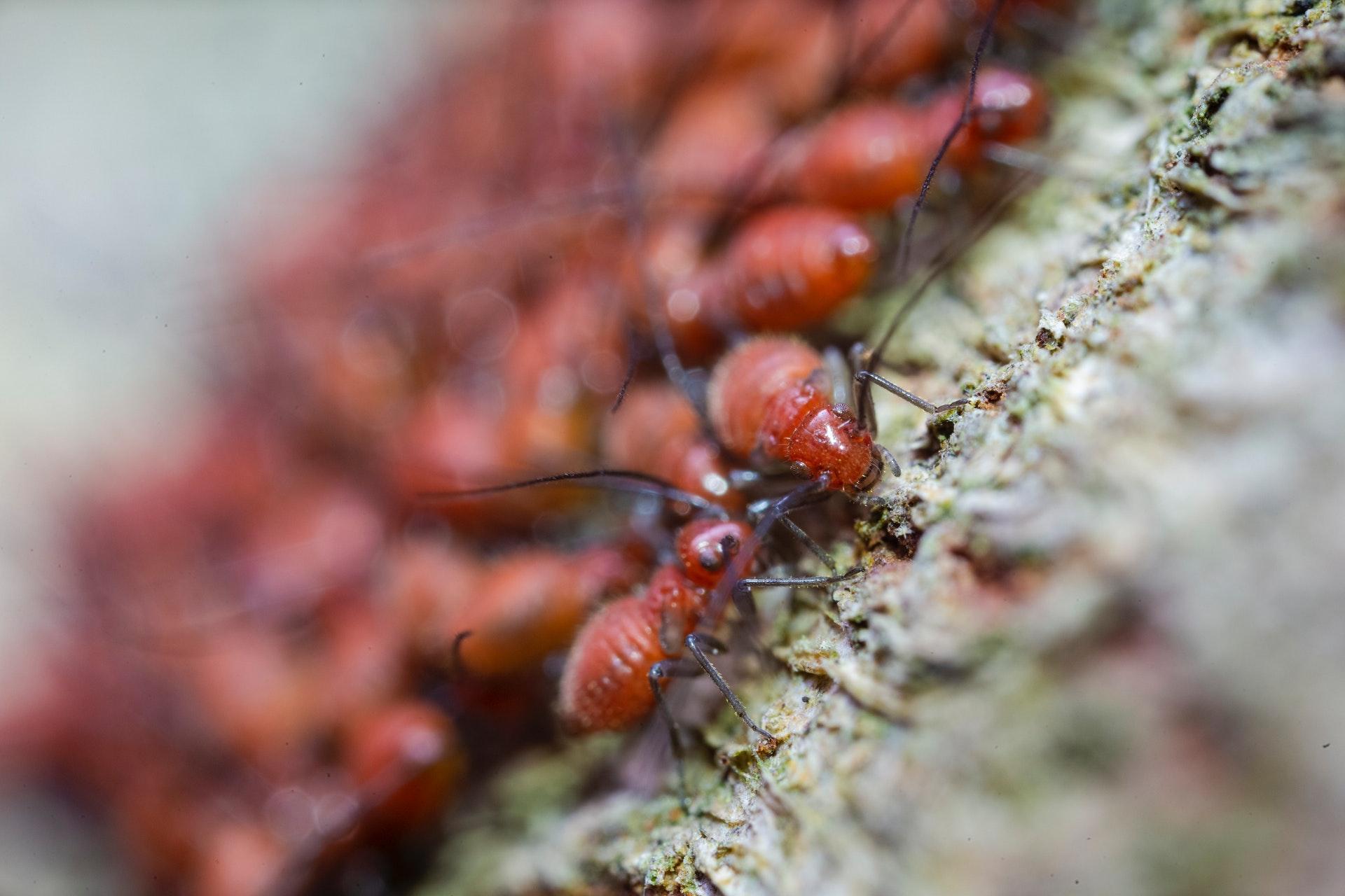 brown ants pests diseases