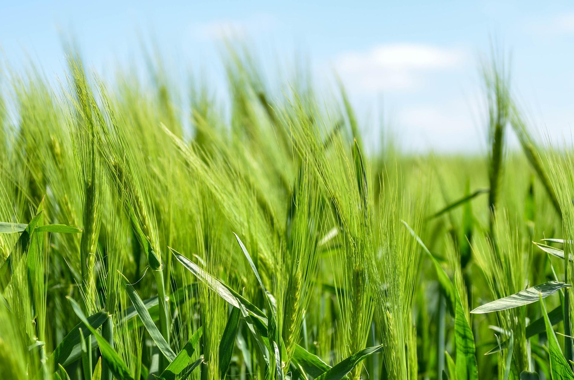 green agriculture barley