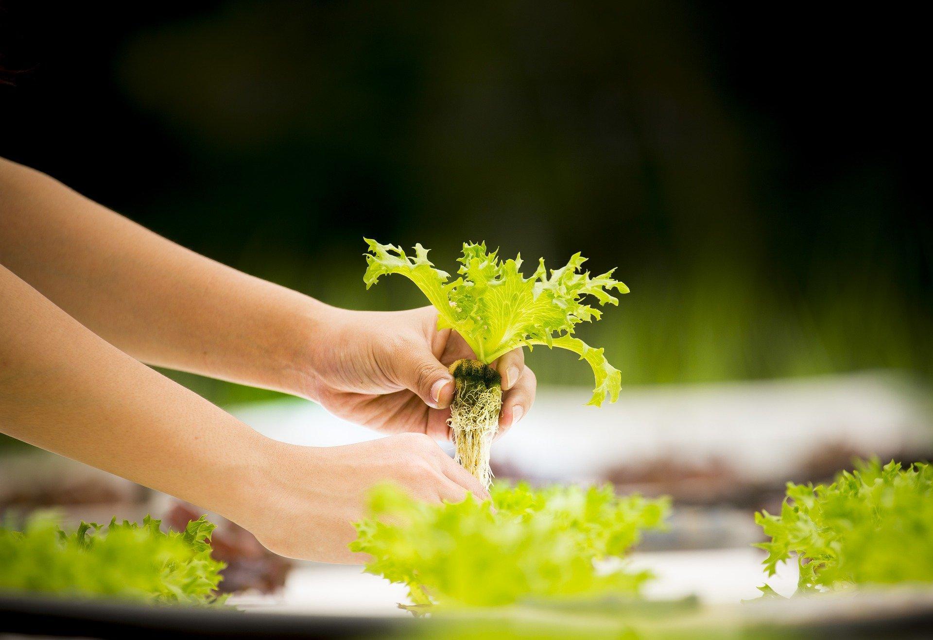 hydroponics pulling plant