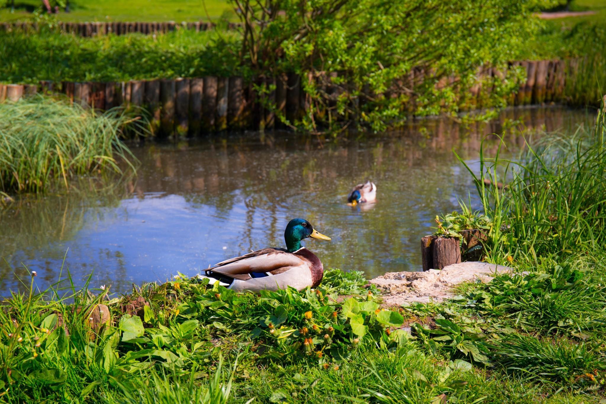 animal beak duck on pond next to grass