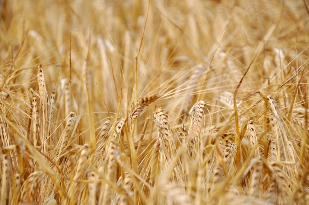 golden barley in wild