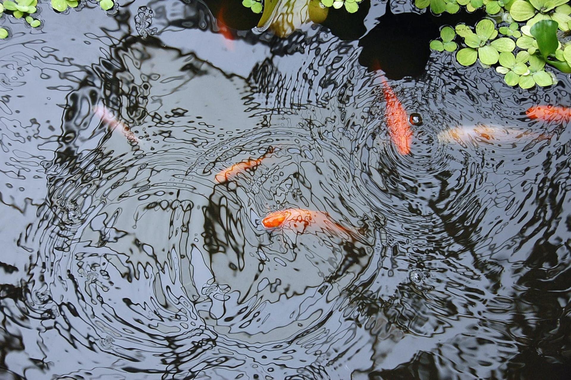 goldfish breaking the water surface