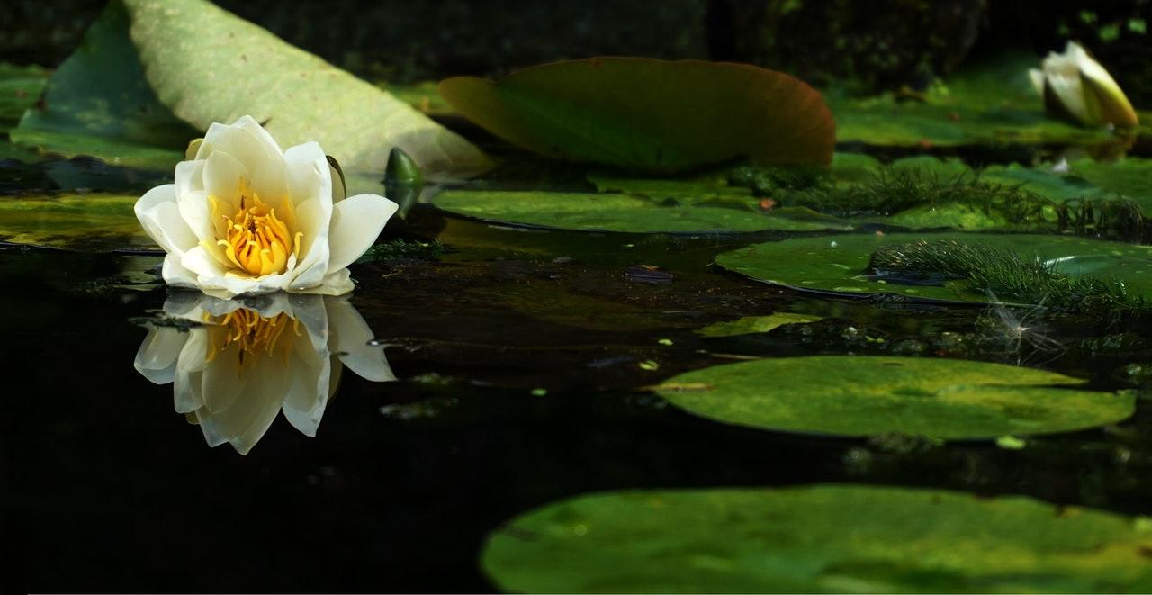 white flower on pond next to leaf